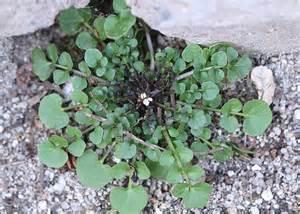 Liste Mauvaises Herbes Jardin by Adventices Messicoles Rud 233 Rales D 233 Finitions Et D 233 Bats