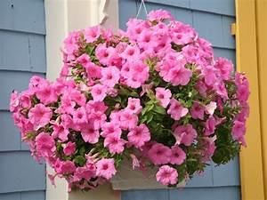 Hängende Pflanzen Für Draußen : h ngende balkonblumen wie petunien pr sentieren sich ~ Sanjose-hotels-ca.com Haus und Dekorationen