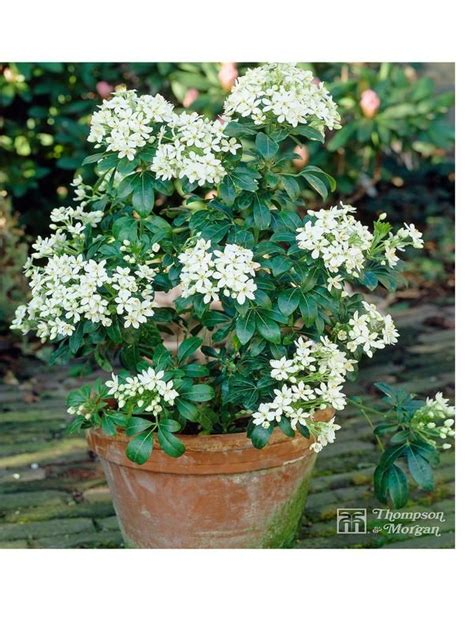 fatsia japonica 3 5 litre pot white flowers shrubs and summer