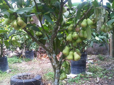 water guava deli green nectar jambu air hijau madu deli fruit in pot pinterest water