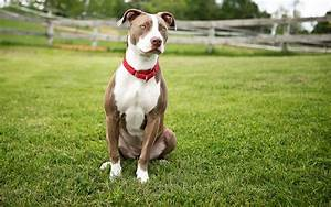 Sports and athletic pitbull. Miniature and large breed ...