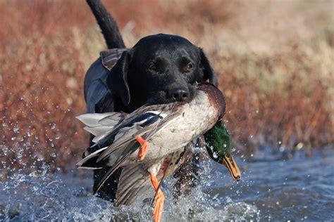 waterfowl gun dog training shawnee hills retrievers