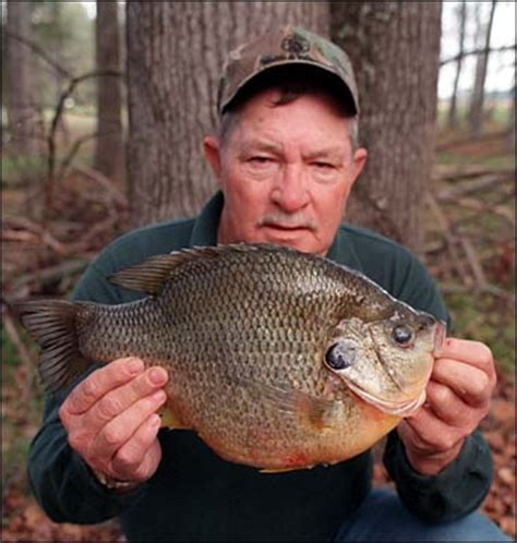 Largest Pumpkin Ever Weight by 5 Pound 8 Ounce Bluegill Fishingbuddy