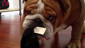 Naughty English Bulldog Thief Steals Everything | FunnyDog.TV