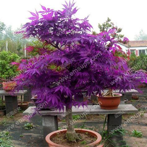 japanese maple purple ghost acer palmatum quot purple ghost quot bonsai nut