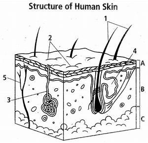 Integumentary System Map At Weber High School
