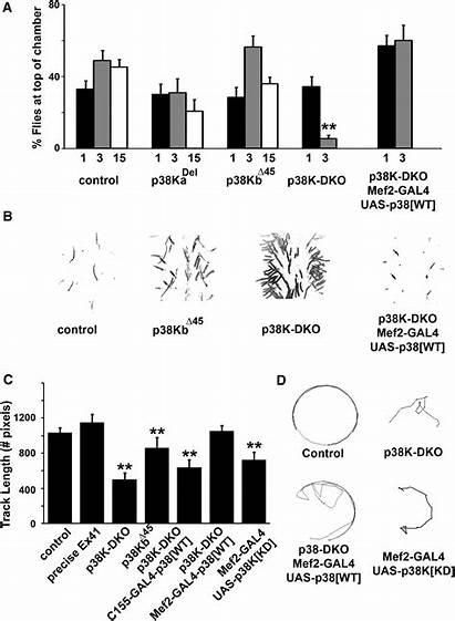 Pathway Span Regulates Mef2 P38 Mapk Drosophila