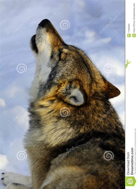 wolf howling  snowy bavarian forest stock image image