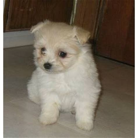 maltipom maltese  pomeranian info temperament puppies