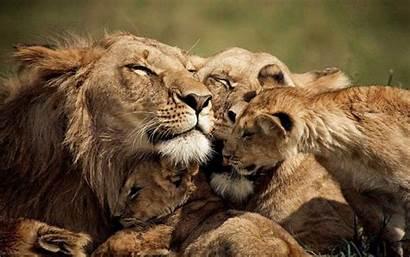 Lion Lions Desktop Wallpapers13