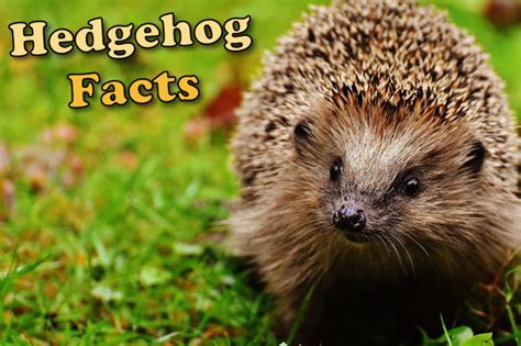 hedgehog facts  kids adults  pictures  depth