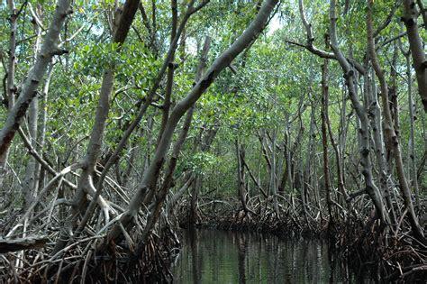 File:Mangrove Everglades.JPG