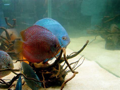 photo gratuite poissons discus poissons aquarium image gratuite sur pixabay 390744