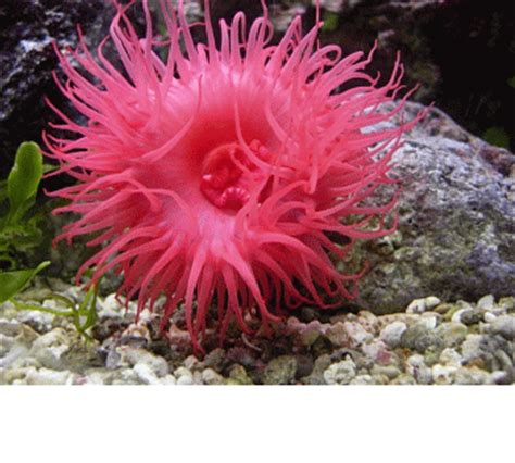 anemone de mer aquarium an 233 de mer actinie actinia animaux animal le pour apprendre 224