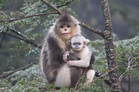 New Study Reveals Adaptations For Snubnosed Monkeys