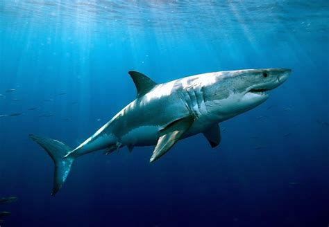 Shark Image The The Bad And The Sharky Part One Attacks