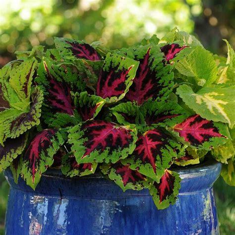 coleus plants coleus basics hgtv