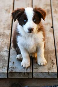 Hillcrest Border Collies: Available Puppies