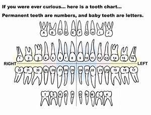 Printable Diagrams Of Teeth
