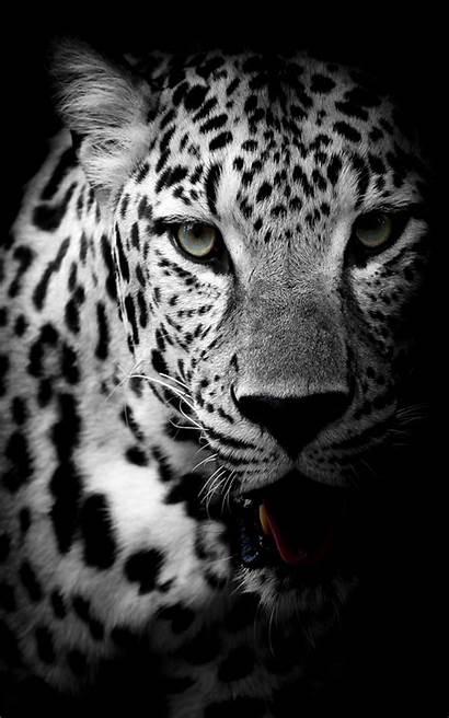 4k Leopard Cheetah Mobile Background Wallpapers Dark