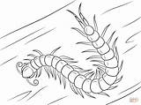 Millipede Centipede Coloring Pages Headed Chinese Template Sketch sketch template