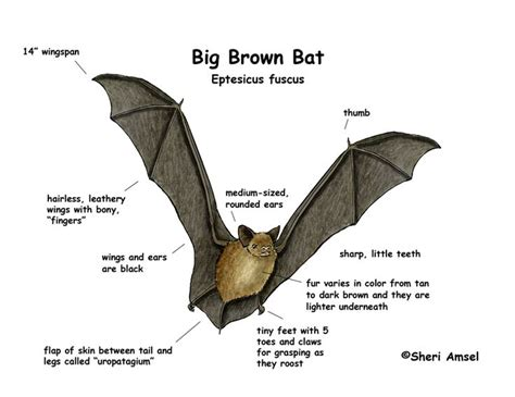 17 best images about big brown bat on pinterest caves