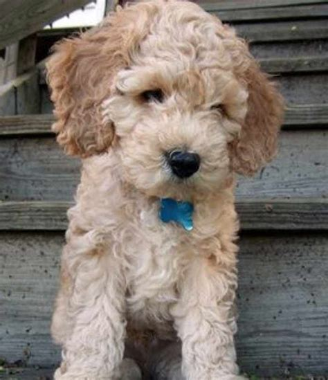 15 best images about puppy cuts on pinterest comb over