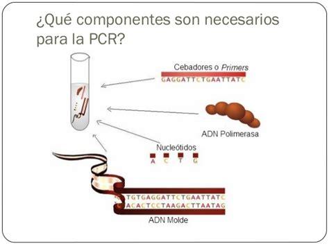 bureau de la pcr reacción en cadena de la polimerasa pcr