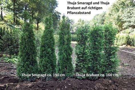 Smaragd Oder Brabant thuja brabant oder thuja smaragd