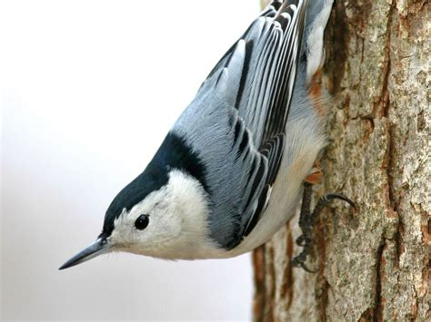 white breasted nuthatch 3d 174 pet products3d 174 pet products