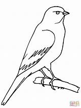 Canary Coloring Pages Perched Bird Printable Drawing Supercoloring Piping Plover Desenhos Para Rule Birds Jay Sketch Imagens Colorir Serin sketch template