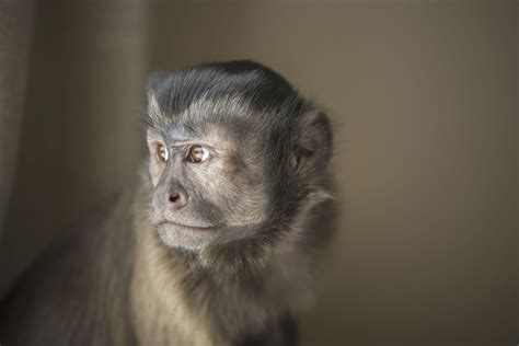capuchin monkey pet pet capuchin monkeys monkeys as pets