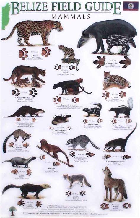 field guide belize mammals