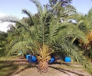 Canary Island Date Palm Tree – Hardy Palm Tree Farm