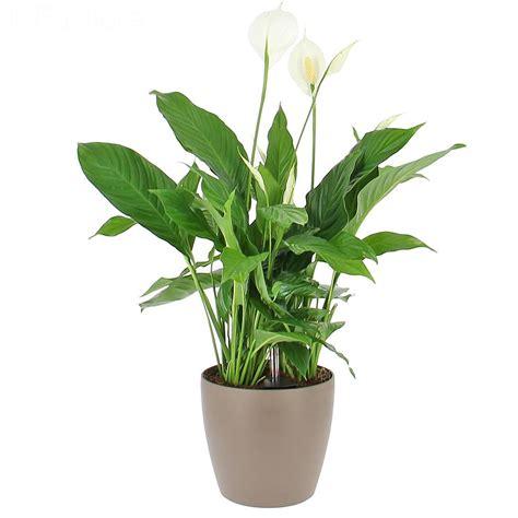 plante verte bureau livraison spathiphyllum en bac à réserve d 39 eau la plante