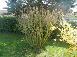 Taille De L Hibiscus : alth a hibiscus syriacus page 3 au jardin forum de ~ Melissatoandfro.com Idées de Décoration