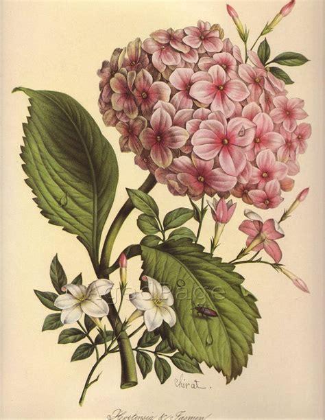 how to make botanical prints vintage botanical print 1940s flower print to frame home and garden hydrangeas and jasmine