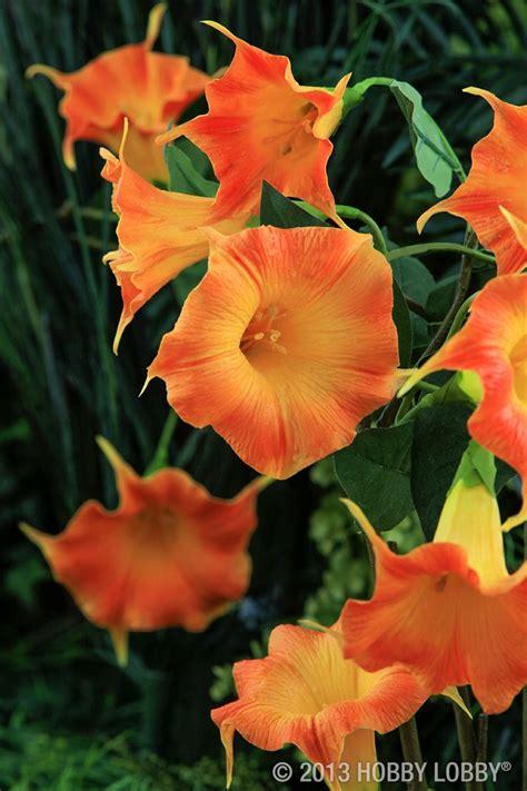 Orange Morning Glory Flower