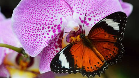 animals insect orange butterfly orchid purple desktop