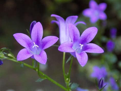 photo gratuite violet violaceae fleur image gratuite