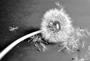 Bild Pusteblume Schwarz Weiß : schwarz weiss anja heyde ~ Bigdaddyawards.com Haus und Dekorationen