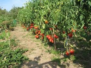 Beste Zeit Zum Tomaten Pflanzen : tomaten anpflanzen tomaten pflanzen auf dem eigenen ~ Lizthompson.info Haus und Dekorationen