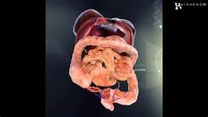 Human Female Internal Organs Anatomy 3d Model From