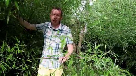 comment planter des bambous fargesia