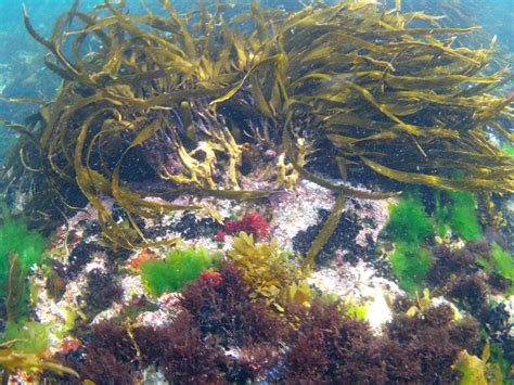tasmanian kombu kai ho oceans treasure