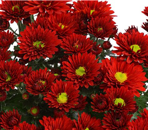 Garten Chrysantheme Kaufen by Garten Chrysantheme Dehner