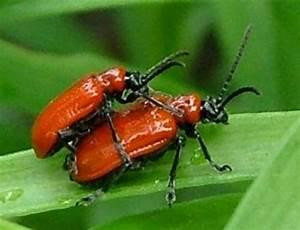 Insecte Qui Mange Le Bois : lilioceris lilii petit col o rouge qui mange les fleurs ~ Farleysfitness.com Idées de Décoration