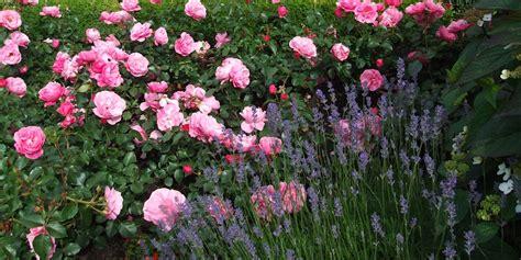 Und Lavendel by Und Lavendel Ein Sch 246 Nes Paar Rosenenergie