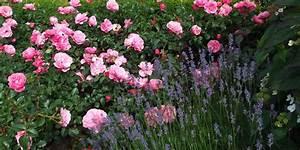 Rosen Und Lavendel : rose und lavendel ein sch nes paar rosenenergie ~ Yasmunasinghe.com Haus und Dekorationen