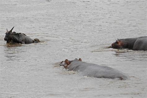 vadim onishchenko hero hippo saves wildebeest  jaws